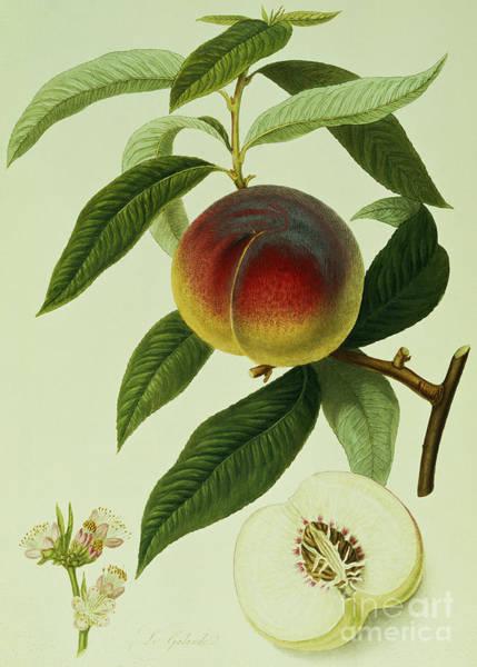 The Galande Peach Art Print