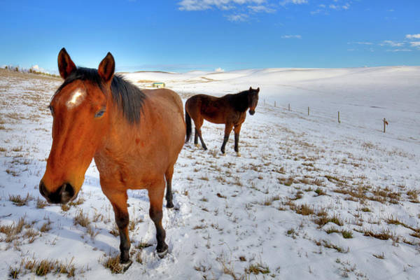 Photograph - The Geldings Rusty And Brown by David Patterson