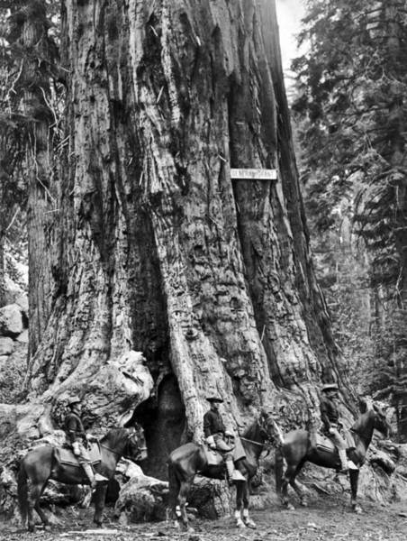 1910s Wall Art - Photograph - The General Grant Tree by Underwood Archives