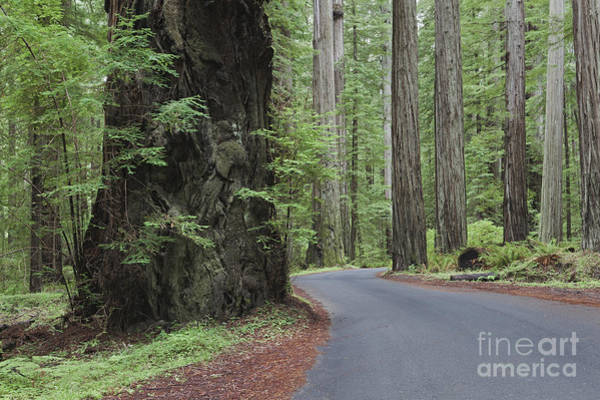 Wall Art - Photograph - The Giant Redwoods Trees In Humboldt by Douglas Orton