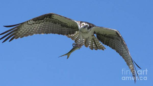 Sea Hawk Photograph - The Glare by Quinn Sedam