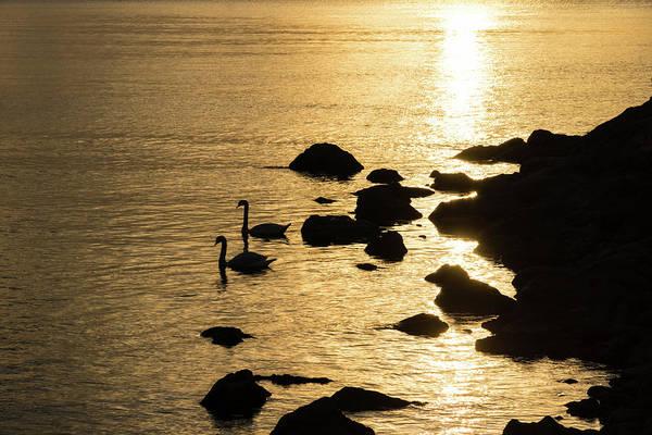 Photograph - The Gliding Couple - Swans On Golden Liquid Silk by Georgia Mizuleva