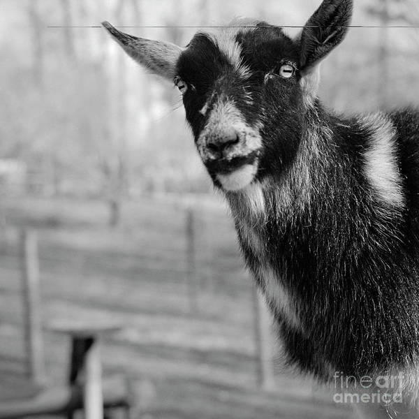 Photograph - The Goat Nigel by Patrick M Lynch
