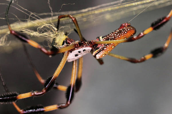 Golden Orb Spider Photograph - The Golden Orb Weaver by JC Findley