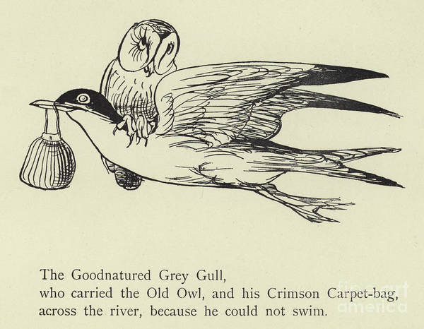 Wall Art - Drawing - The Goodnatured Grey Gull by English School