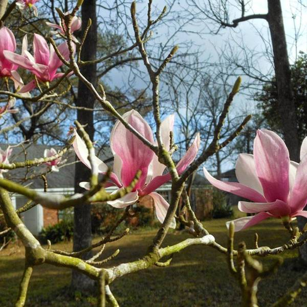 Photograph - The Gorgeous Japanese Magnolia Tree In by Cheray Dillon
