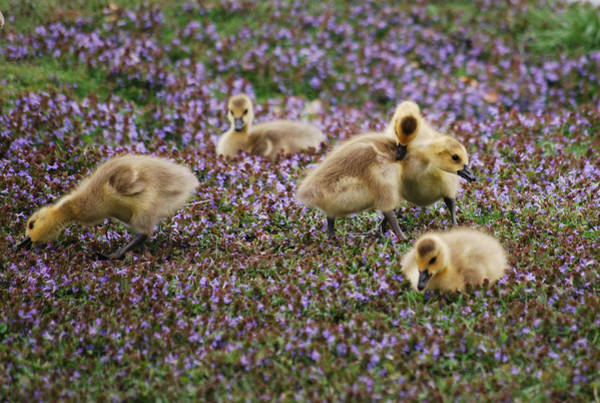 Gosling Photograph - The Gosling Series - Gottcha  by Michelle  BarlondSmith