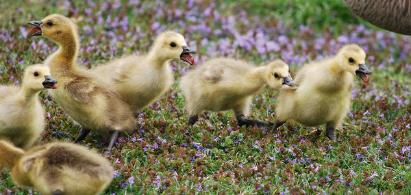 Gosling Photograph - The Gosling Series - No - It's Mine by Michelle  BarlondSmith