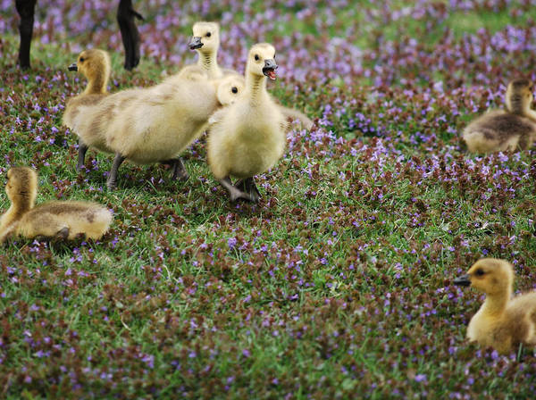 Gosling Photograph - The Gosling Series - Tag - You're It by Michelle  BarlondSmith