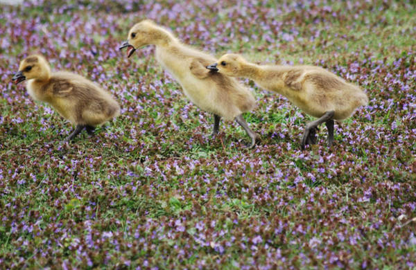 Gosling Photograph - The Gosling Series - You're Gonna Get It by Michelle  BarlondSmith