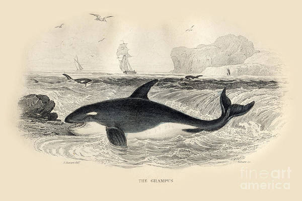 Photograph - The Grampus Aka Orca By J. Stewart Del 1837 by California Views Archives Mr Pat Hathaway Archives