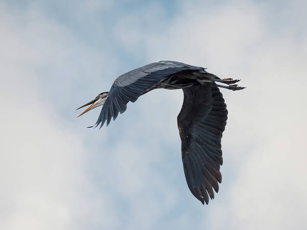 Photograph - The Great Blue Heron by Loree Johnson