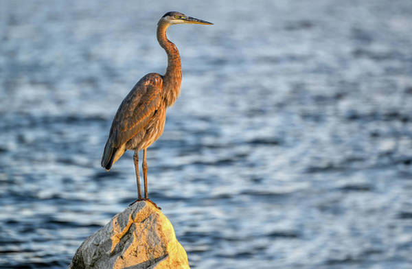 Photograph - The Great Blue Heron by Patrick Wolf