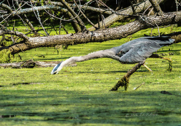 Photograph - The Great Blue Heron Stretch by Edward Peterson