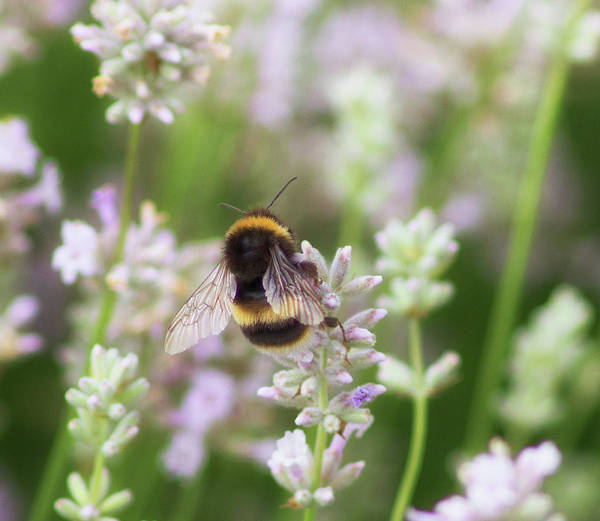 Bumble Bee Wall Art - Photograph - The Great British Bee by Martin Newman
