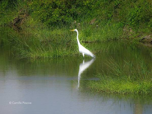 Great Egret By The Waters Edge Art Print