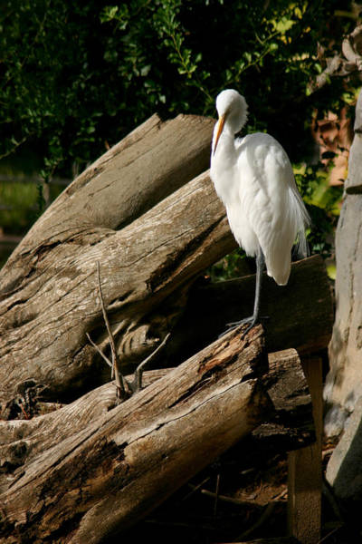 Great Egret Photograph - The Great Egret by Brad Scott