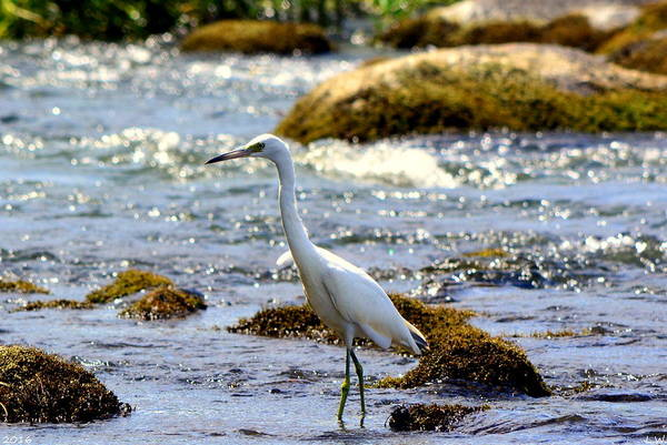 Photograph - The Great Egret by Lisa Wooten