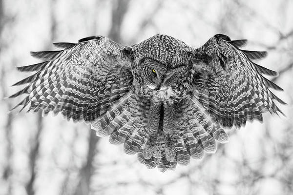 Wall Art - Photograph - The Great Grey Owl In Black And White by Mircea Costina Photography