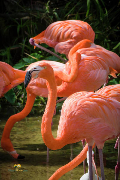 Photograph - The Greater Flamingo by Jim Thompson