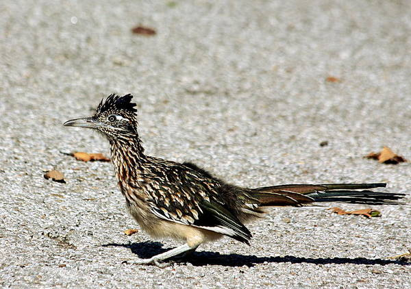 Photograph - The Greater Roadrunner by Sheila Brown