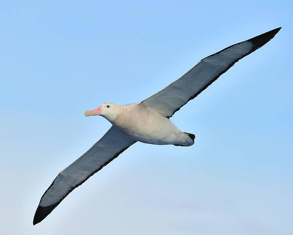 Wanderings Photograph - The Greatest Seabird by Tony Beck