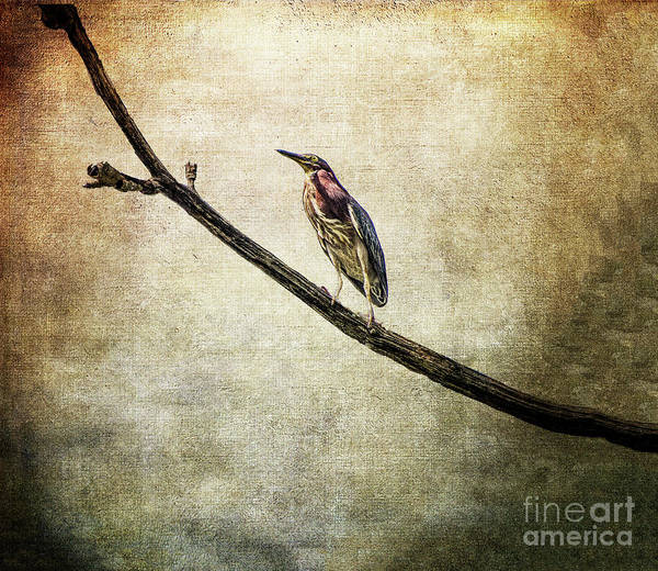 Brinton Photograph - The Green Heron by Judy Wolinsky
