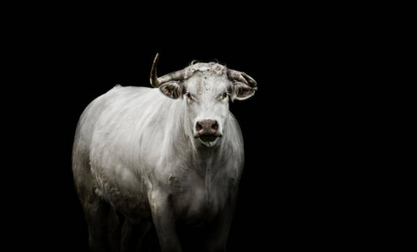 Cattles Photograph - The Guardian by Paul Neville