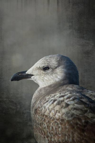 Seagulls Mixed Media - The Gull by Karol Livote