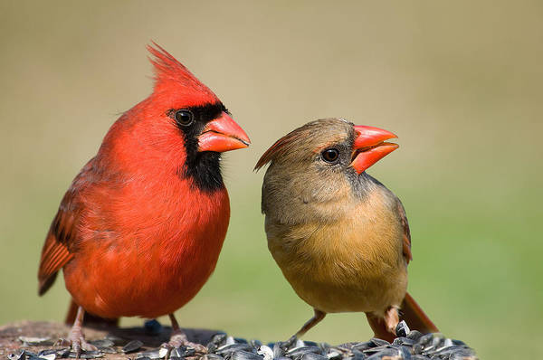 Female Cardinal Photograph - The Happy Couple by Bonnie Barry
