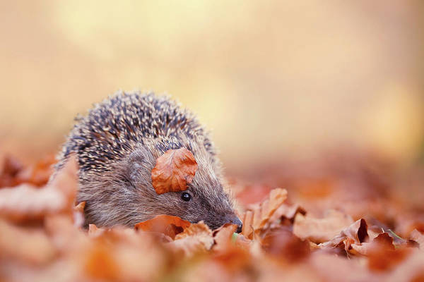 Wall Art - Photograph - The Happy Hedgehog II by Roeselien Raimond
