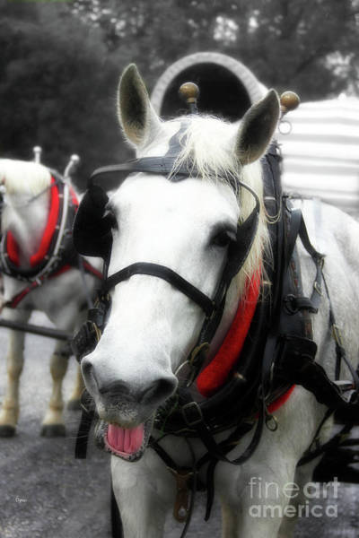 Draft Horses Photograph - The Happy Horse  by Steven Digman