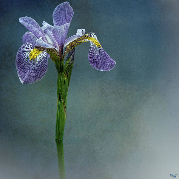 Photograph - The Harlem Meer Iris by Chris Lord
