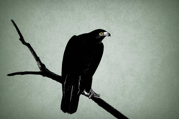 Eagle Drawing - The Hawk by Mark Rogan