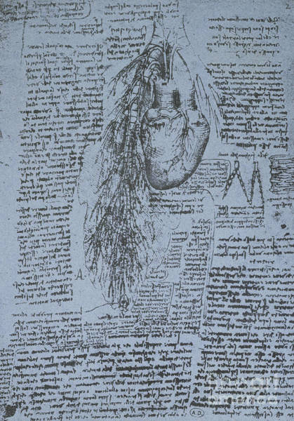 Wall Art - Drawing - The Heart And The Bronchial Arteries by Leonardo Da Vinci