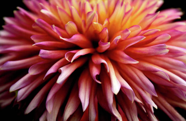 Photograph - The Heart Of A Dahlia by Jessica Jenney