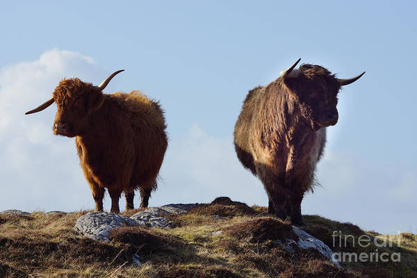 Glen Wall Art - Photograph - The Highland Cows by Smart Aviation