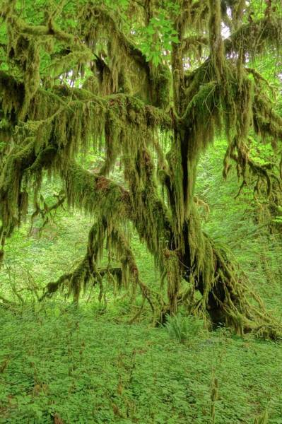Photograph - The Hoh Rainforest by Dan Sproul