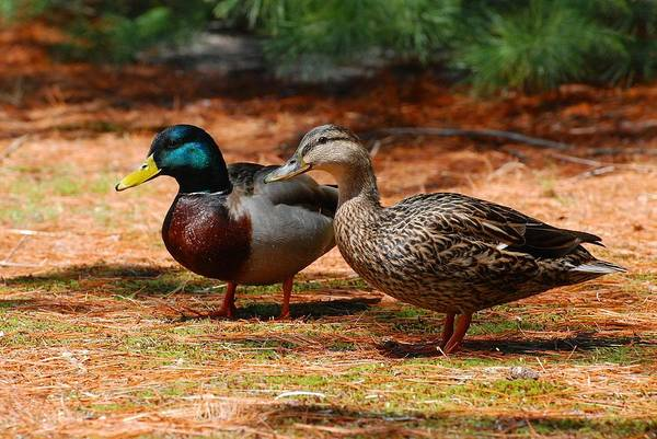 Photograph - The Honeymooners - Mallard Ducks  by Angie Tirado