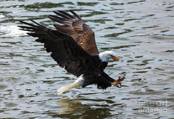 Bald Eagle Photograph - The Hook by Mike Dawson