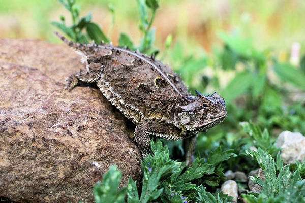 Tcu Wall Art - Photograph - The Horned Lizard by Kyle Findley