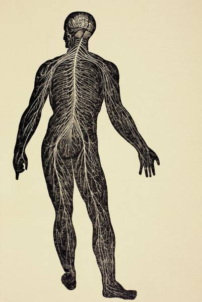 Nerves Drawing - The Human Nervous System. From Virtue S by Vintage Design Pics