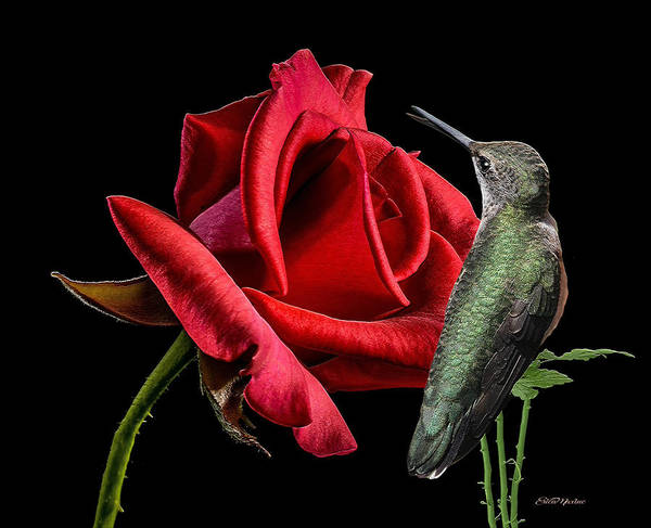 Photograph - The Hummer And The Rose 868 by Ericamaxine Price