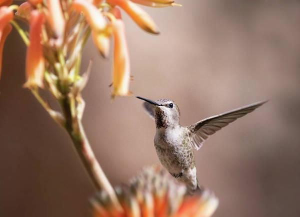 Wall Art - Photograph - The Hummingbird And The Aloe Blossoms  by Saija Lehtonen