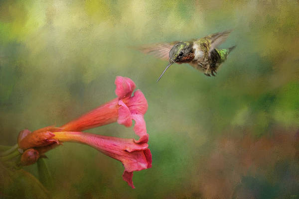 Photograph - The Hummingbird And The Trumpet Flower by Jai Johnson