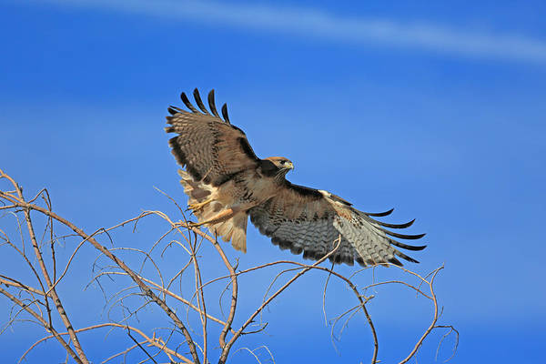 Red Tailed Hawk Photograph - The Hunt by Donna Kennedy