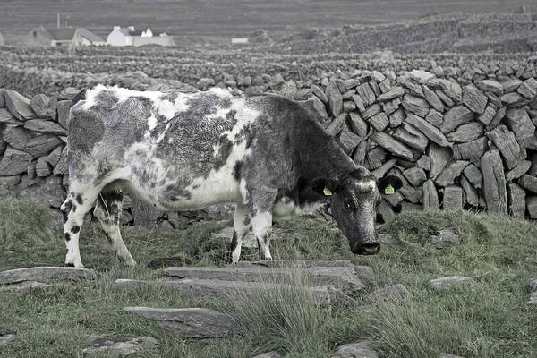 Dairy Cows Photograph - The Ireland Moo by Betsy Knapp