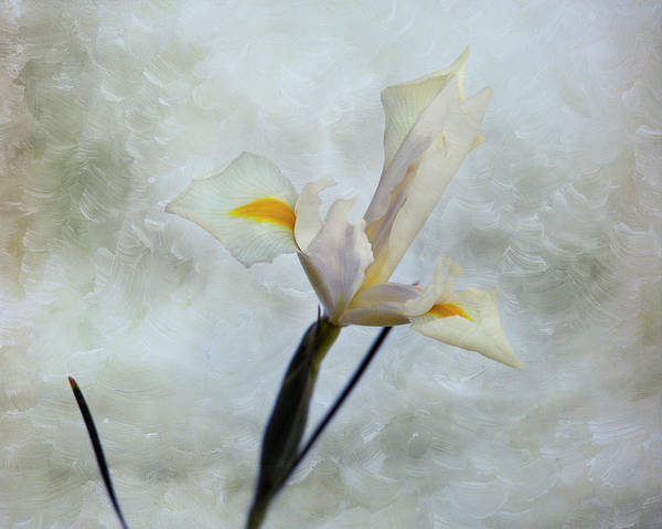 Photograph - The Iris by Mary Lee Dereske