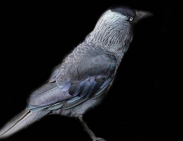 Birds Nest Photograph - The Jackdaw by Martin Newman