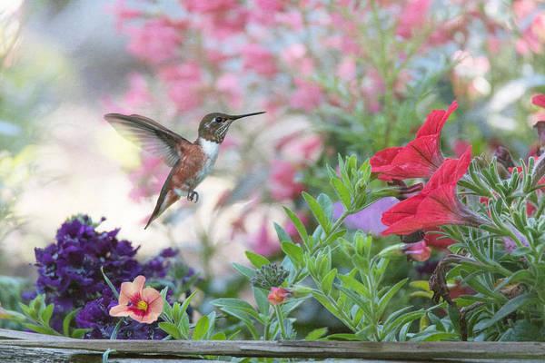 Rufous Hummingbird Wall Art - Photograph - The Joys Of A Flower Garden by Angie Vogel